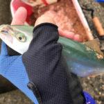 日本鋼管でツバス入れ食い | ルアーよりオキアミで釣れる