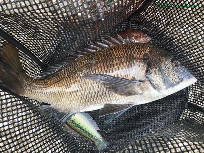 奈屋浦漁港突堤でチヌ狙いの紀州釣り