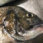 奈屋浦でチヌの数釣り | 夜釣りは田曽浦でサビキ釣り