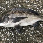 奈屋浦漁港突堤で紀州釣り | サナギとコーンで良型チヌ3匹